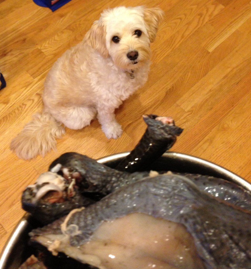 Milo likes silky chicken
